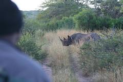 Road crossing black rhino (Reis. In stijl.) Tags: nature southafrica wildlife safari rhino tracker blackrhino kwazulunatal gamedrive forestlodge phinda zuidafrika zwarteneushoorn
