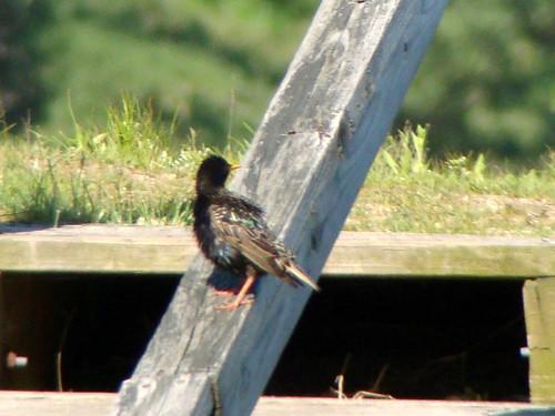 wet starling