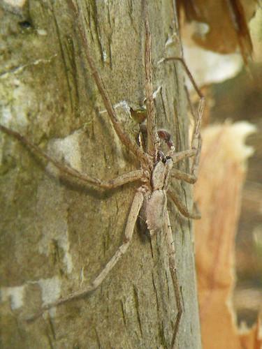 melaleuca spider