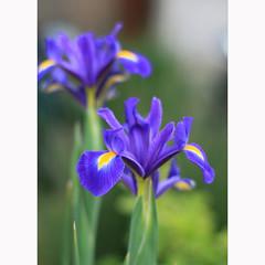 Blue irises for Aina! (_nejire_) Tags: blue iris england plant flower london nature canon flora bokeh explore testimonial carlzeiss f20 10faves nejire 400d 415pm eos400d canoneos400d fave10 planart50mm mhashi carlzeissplanart1450ze thanksaina 7525534g820am dedicatedtoaina 6723504g1am