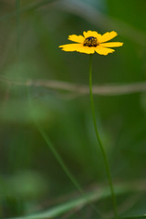 1/365 (Amye Liz) Tags: flower yellow blackeyedsusan