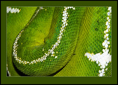 Emerald Tree Boa (Kelvin_) Tags: tree green nature closeup snake boa emerald 15challengeswinner