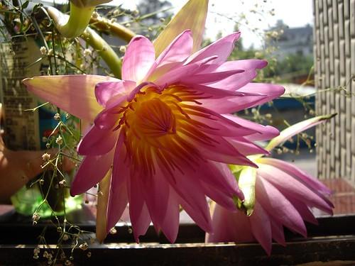 陽光下的蓮花
