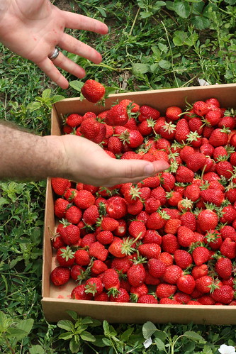 Berry Picking: Strawberry Edition