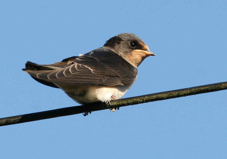 Swallow fledgling