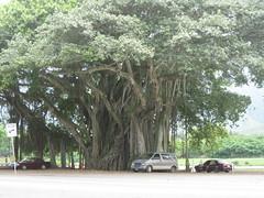 Banyan Tree, Waimanalo