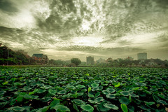 Lotus field (Thuvm) Tags: sky interesting lotus vietnam explore westlake hanoi hdr hanoicorner