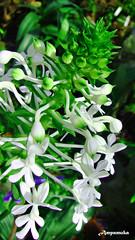 Calanthe Triplicata / อั้วดอกขาว