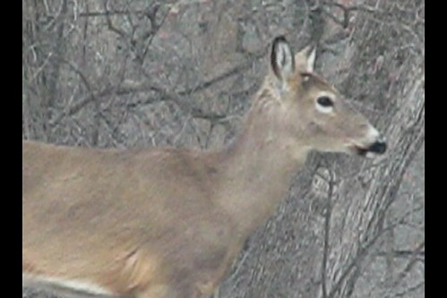 V I D E O -- Deer Grove Woods Forest -- The Thaw -- Two Deer Walking The Woods Edge -- Video
