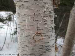 (olivia house) Tags: winter snow canada cold macro tree nature forest canon newfoundland landscape outside outdoors woods focus olivia carve mo trunk birch names morgan tronco inverno árvore frio oliviahouse