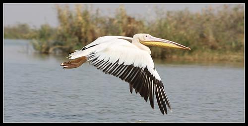 13-djoudj-pelicano
