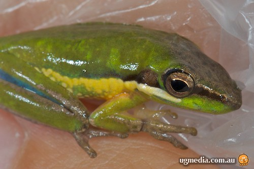 Litoria olongburensis - before