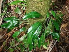 Elaphoglossum simplex? (tropicalgardener1) Tags: forest puerto rico guavate carite 22209
