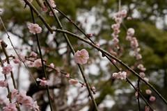 Kitano Tenmangu Plum Blossoms (MShades) Tags: flowers tree japan kyoto shrine kitanotenmangu plumblossoms