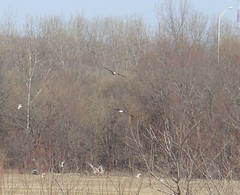 Two adult bald eagles Oxbow