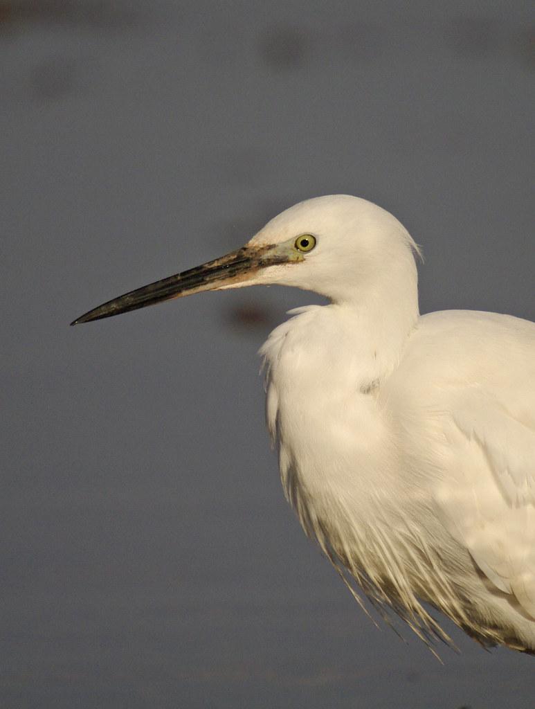 Egret head