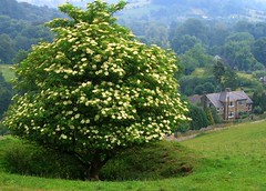Lone Black Elder Tree in Derbyshire (UGArdener) Tags: england green english unitedkingdom britain derbyshire peakdistrict eyam elderberry stoneymiddleton englishtravel