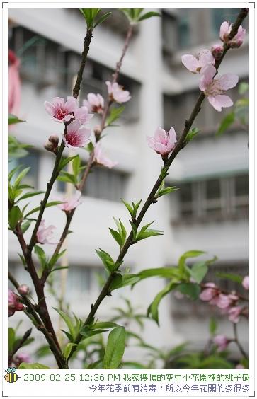 09.02.25 樓頂桃子開花 (2)