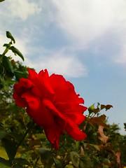 Red Rose Bottom View / กุหลาบแดง