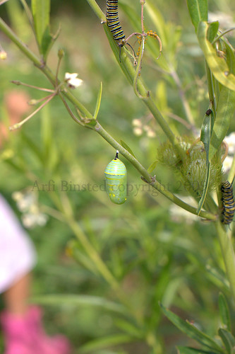 green pupa by ab '09