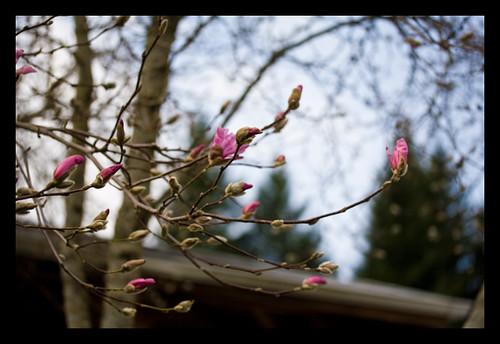 pink_magnolia_2