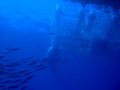 Great White Shark Surface Cages (George Probst) Tags: shark underwater scuba frombelow underside jaws guadalupe greatwhiteshark greatwhite whitepointer cagediving isladeguadalupe surfacecages