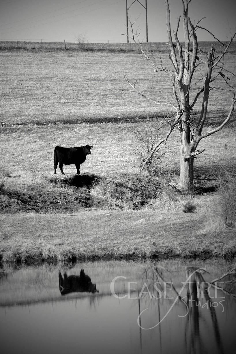 03-30-cow11