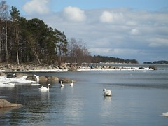 Our friends the swans enjoy the spring, too (Timetamer) Tags: winter helsinki talvi vuosaari