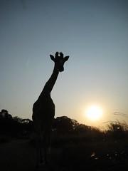 Giraffe Silhouttee