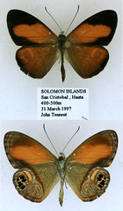 Argyronympha ugiensis