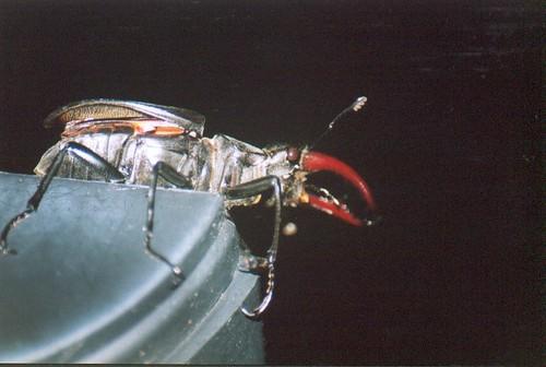 england westsussex wildlife stagbeetle eastpreston lucanuscervus lucanidae