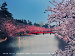 Cherry Blossom Park. (Hirosaki Japan).  Glenn Waters. (Explored)  3,700 visits to this photo. Thank you (Glenn Waters in Japan.) Tags: bridge castle beautiful japan cherry spring nikon blossoms explore aomori  getty  sakura cherryblossoms hirosaki moat cherrytree edo  touhoku       explored   nikond700  glennwaters nikkor2470mmf28gedafs