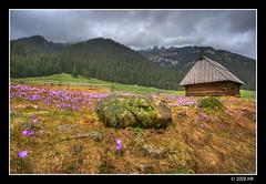 it's spring (Mariusz Petelicki) Tags: spring hdr crocuses wiosna 3xp krokusy mariuszpetelicki chochołowslavalley
