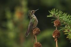 Picaflor chico (Sephanoides sephaniodes) (Egon Wolf) Tags: chile bird wolf hummingbird aves ave hummingbirds egon colibri picaflor colibris colobri biirds ewm sudameria egonwolf egonwolfmiranda bo bo egonwolfm