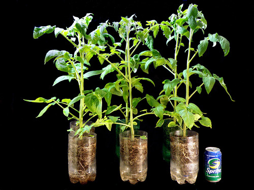 Heirloom Tomato Starter Plants in Week 4