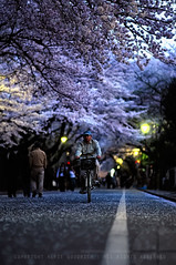 Biking at dusk through the cherry blossom: Yanaka Cemetery, Tokyo (Alfie | Japanorama) Tags: road street man cemetery bike bicycle japan japanese cycling tokyo evening petals dof blossom bokeh dusk cycle cherryblossom sakura hanami lowangle lowperspective yanaka nikkor85mmf14daf