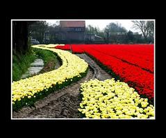 Landscape (Theo Kelderman) Tags: landscape tulips nederland netherland april 2009 landschap tulpen bollenveld bollenstreek theokeldermanphotography