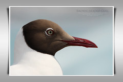Brown-headed Gull/ (Pattana's Gallery) Tags: brownheadedgull larusbrunnicephalus
