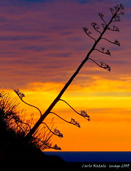Agave at sunset (cienne45) Tags: friends sunset italy liguria cienne45 carlonatale genoa natale colorphotoaward thesecretlifeoftrees profilo8