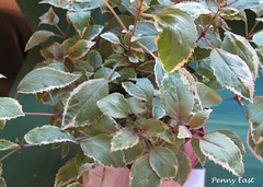 Fuchsia 'Roswitha' Foliage (pennyeast) Tags: flower nature garden southafrica fuchsia capetown mygarden onagraceae papaalphaecho