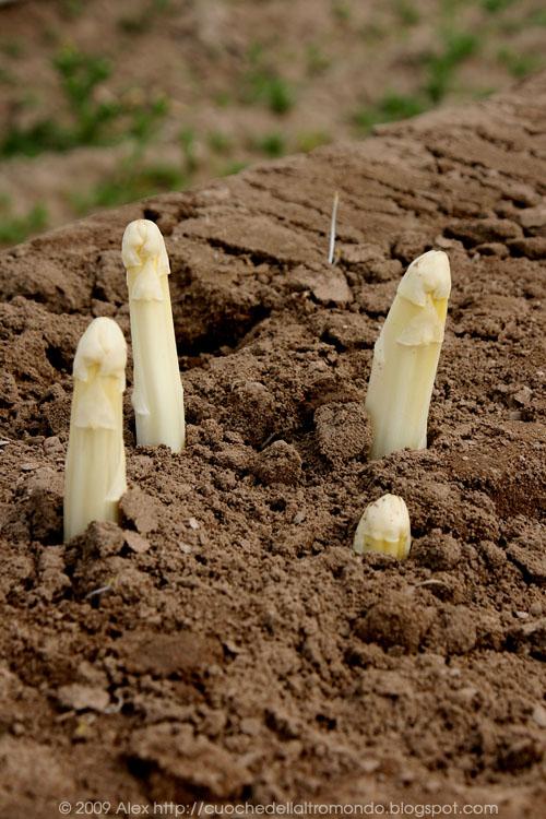 Punte di asparagi bianchi