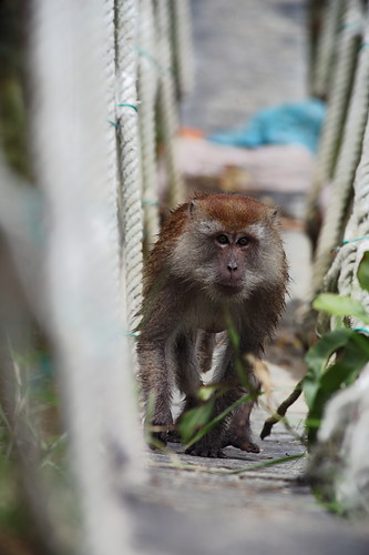 Eksplorasi Kuala Selangor | Monyet melintas sungai