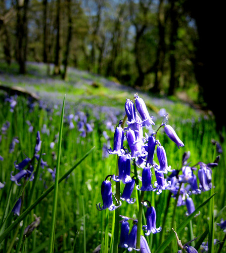 Bluebells in Mugdock