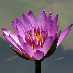 Water lily (ddsnet) Tags: plant flower water waterlily lily sony hsinchu taiwan aquatic   aquaticplants 900        sinpu hsinpu  lily water  quotwater tetragona water    lilyquot 900 lily plantsquot  nymphaeatetragona    nymphaea plants nymphaeatetragon quotaquatic quotnymphaea tetragonaquot aquatic nymphaea tetragona plantsnymphaea tetragona