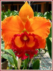 Blc. Yen 24 Karat (Brassolaeliocattleya hybrib) at Serendah International Orchid Park