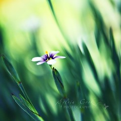 blue eyed grass (slcook52 (Sylvia)) Tags: flower macro green grass bokeh explore fff sisyrinchium blueeyedgrass tamron2875mmf28 ehbd hggt gorgeousgreenthursday copyrightedallrightsreserved gettyartistpicksjuly09