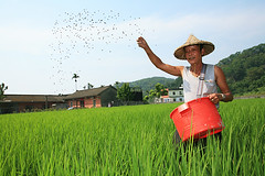 Instantaneous,Taiwan (Arte Lee) Tags: canon rice taiwan paddyfield                            2 139 30