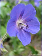 Blue (Marjo1963) Tags: flowers blue juni blauw 2009 bloemen geraniumbloem