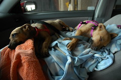 Rescued puppies Rose and Bambi laying on a towel covered box supporting them on the front seat of my car waiting for customs, Mexico - USA border (Wonderlane) Tags: rescue car rose for puppies waiting exposure box seat towel front covered them bambi starvation supporting rescued customs laying mexicousaborder 3215 roseandbambionthefrontseatofmycarwaitingforcustoms dobermanridgebackshepardmix