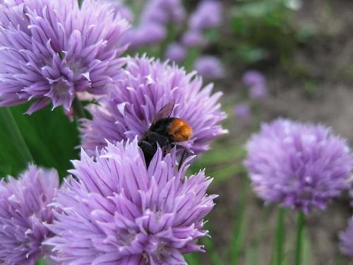 Фото шмель на цветке